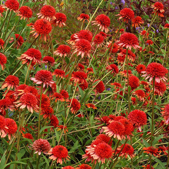 ECHINACEA 'Coral Reef' ®