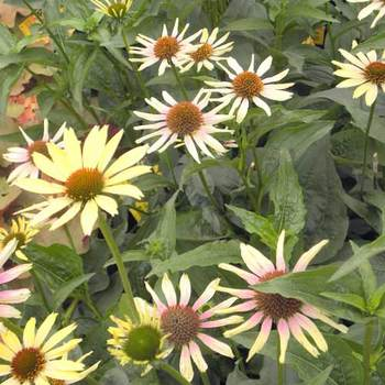 ECHINACEA 'Evening Glow' ®