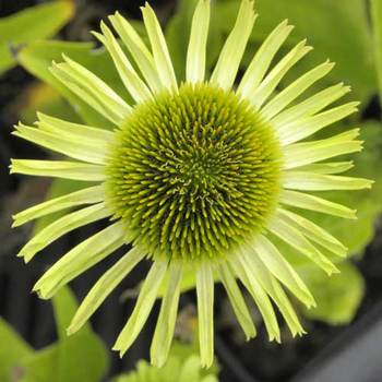 ECHINACEA purpurea 'Green Jewel' ®