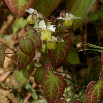 EPIMEDIUM versicolor 'Sulphureum'