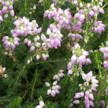 ERICA cinerea 'Eden Valley'
