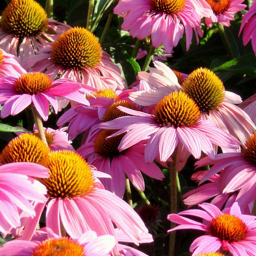 ECHINACEA purpurea 'Feeling Pink'