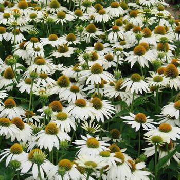 ECHINACEA purpurea 'Feeling White'