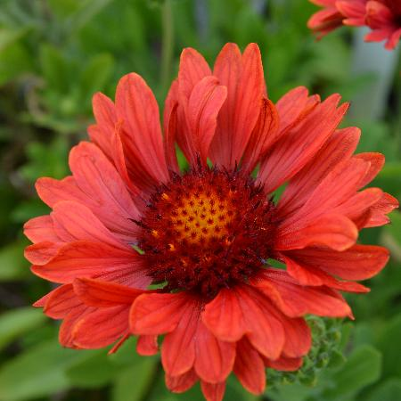 GAILLARDIA aristata 'Sunset Celebration' ®