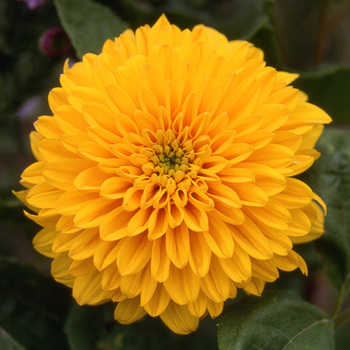HELIANTHUS decapetalus 'Golden Ball'