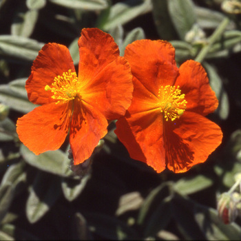 HELIANTHEMUM 'Tomato Red'