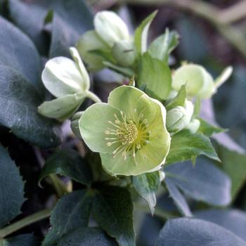 HELLEBORUS argutifolius (corsicus)
