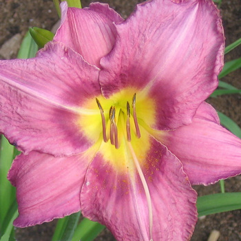 HEMEROCALLIS 'Chicago Queen'