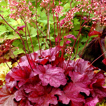 HEUCHERA 'Berry Smoothie' ®