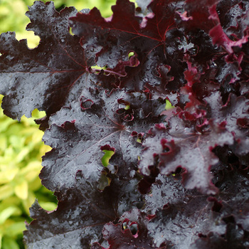 HEUCHERA 'Black Beauty' ®