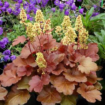 HEUCHERA 'Blondie' (Little Cutie Series) ®