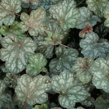 HEUCHERA 'Cascade Dawn'
