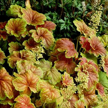 HEUCHERA 'Delta Dawn' ®