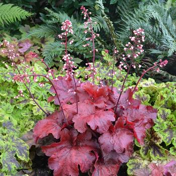 HEUCHERA 'Fire Alarm' ®