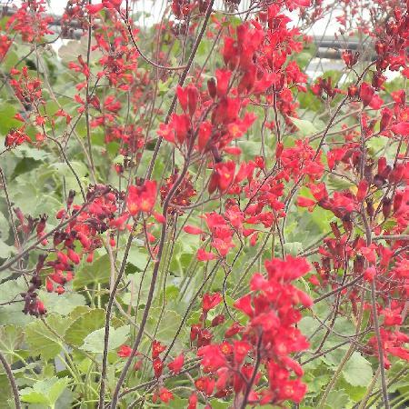 HEUCHERA sanguinea 'Ruby Bells'