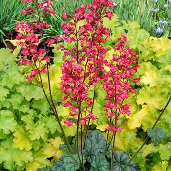HEUCHERA 'Paris' ®