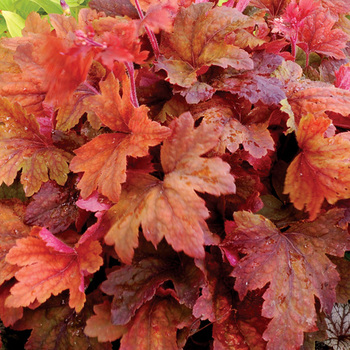 HEUCHERELLA 'Sweet Tea' ®