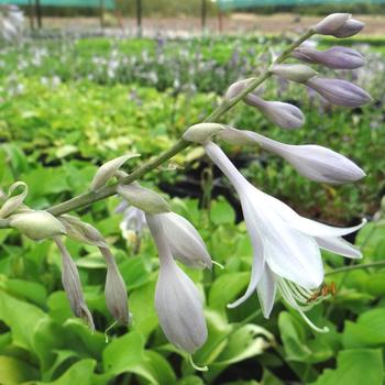 HOSTA 'Sum and Substance'