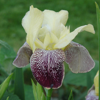 IRIS b-e 'Flaming Dragon'