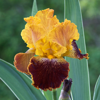 IRIS b-e 'Michigan Pride'