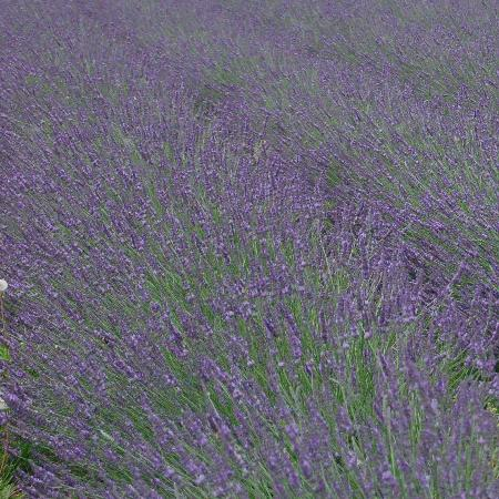 LAVANDULA intermedia 'Phenomenal' ®