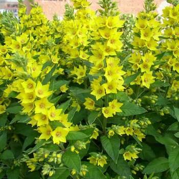 LYSIMACHIA vulgaris
