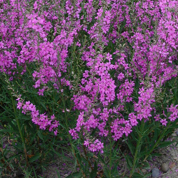 LYTHRUM virgatum 'Rose Queen'