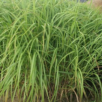 MISCANTHUS sinensis var. condensatus