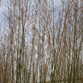 MOLINIA arundinacea 'Bergfreund'