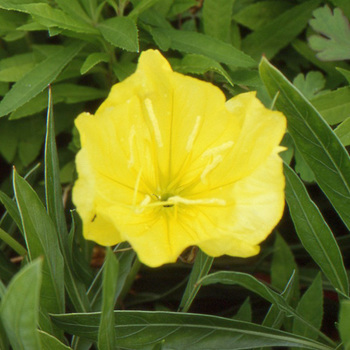 OENOTHERA macrocarpa (missouriensis)