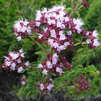 ORIGANUM vulgare 'Roseum'