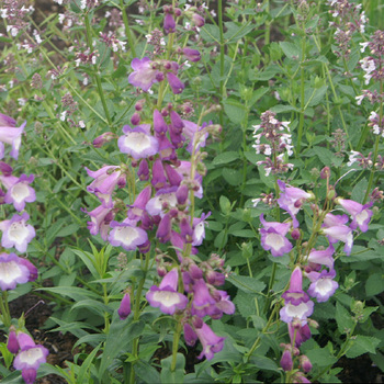 PENSTEMON 'Alice Hindley'