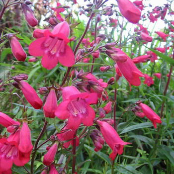 PENSTEMON 'Southgate Gem'