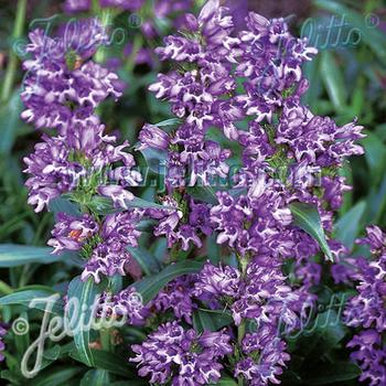 PENSTEMON virgatus 'Blue Buckle'