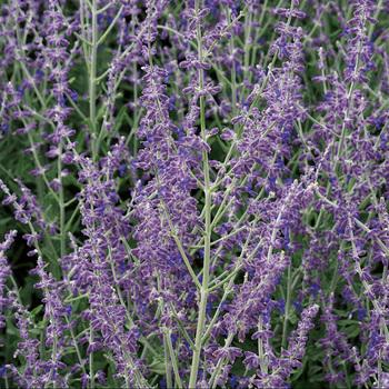 PEROVSKIA atriplicifolia 'Little Spire' ®