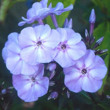 PHLOX 'Blue Boy' (Paniculata Group)