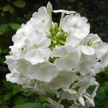 PHLOX 'David' (Paniculata Group)