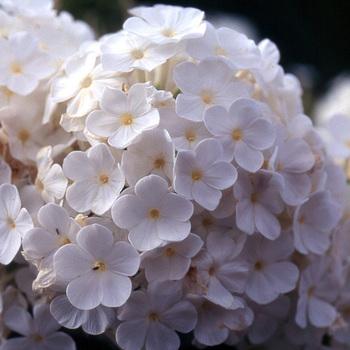 PHLOX 'Fujiyama' (Paniculata Group)