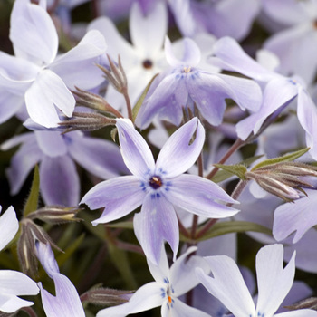 PHLOX 'G.F.Wilson' (Subulata Group)
