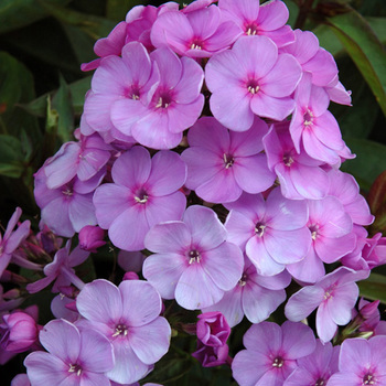 PHLOX 'Lilac Time' (Paniculata Group)