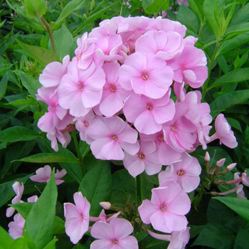 PHLOX 'Pinky Hill' (Paniculata Group)
