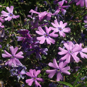 PHLOX 'Purple Beauty' (Subulata Group)