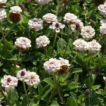 PHYLA nodiflora var. canescens