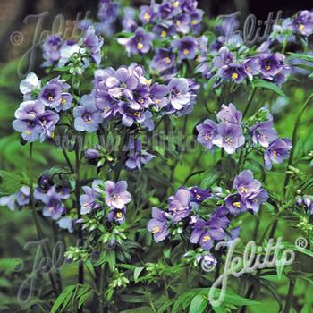 POLEMONIUM yezoense 'Purple Rain Strain'