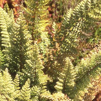 POLYSTICHUM setiferum 'Plumosum Densum'