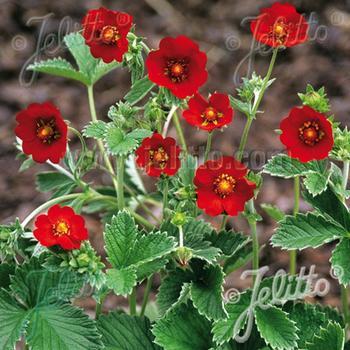 POTENTILLA atrosanguinea 'Scarlet Starlit'