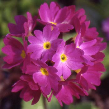 PRIMULA denticulata 'Rubin'