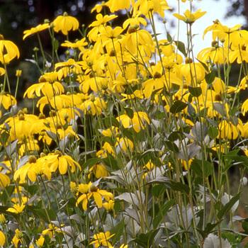 RUDBECKIA nitida 'Herbstsonne' ('Autumn Glory')