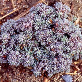 SEDUM hispanicum (lydium 'Glaucum')