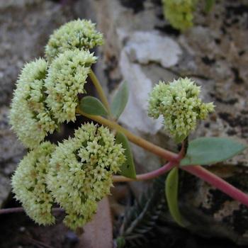 SEDUM telephium ssp. maximum